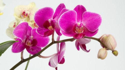 Декілька порад та хитрощів для рясного цвітіння орхідеї