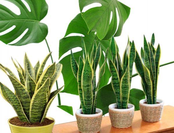 Якщо хочете залучити в будинок гроші, придбайте ці 5 рослин (фото)